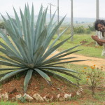 Desmond Nazareth and an Indian Agave plant.